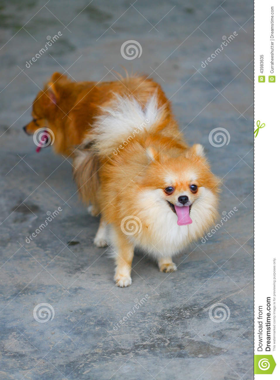 Male And Female Pomeranian Dog Mating Mating Of Pet Stock Photo