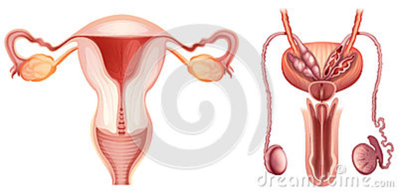 The Male And Female Reproductive Systems Stock Vector - Illustration ...