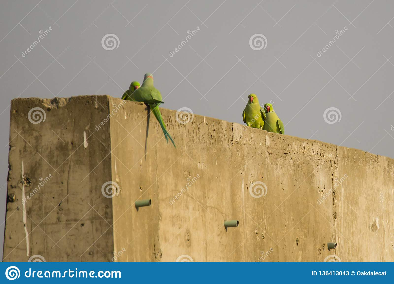 Male And Female Rose Ringed Parakeets In Step Stock Image - Image of