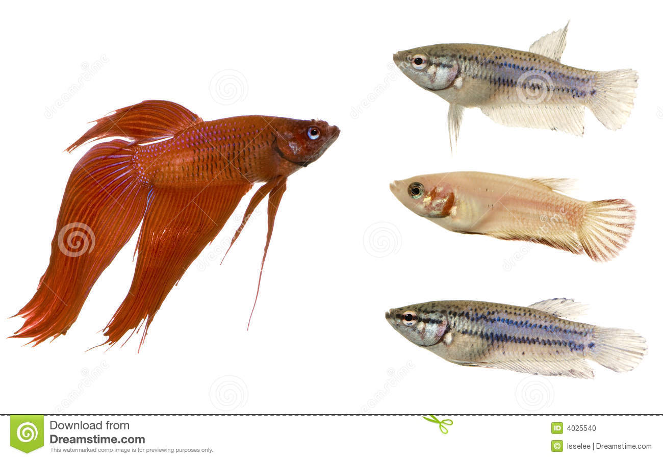 Male and female siamese fighting fish stock photo image for Female betta fish names