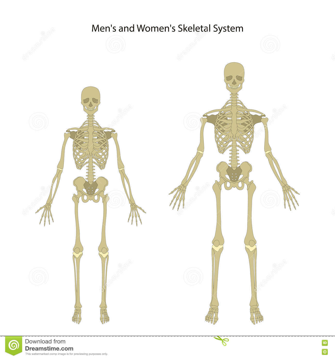 Male And Female Skeleton. Front View. Stock Vector - Illustration of ...