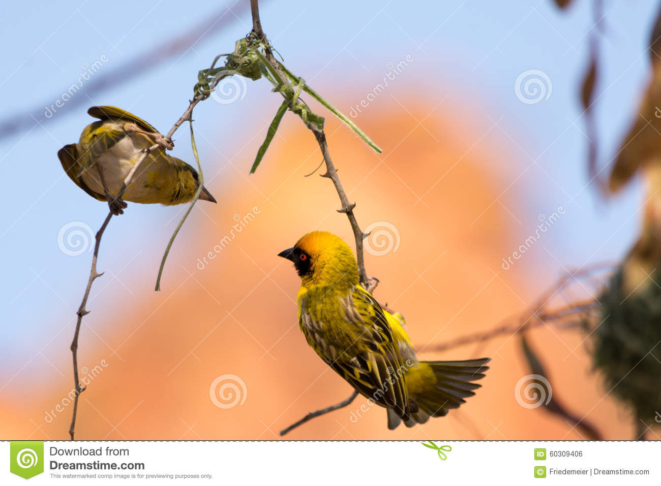 Male And Female Weaver Bird Building Nest Stock Photo Image Of