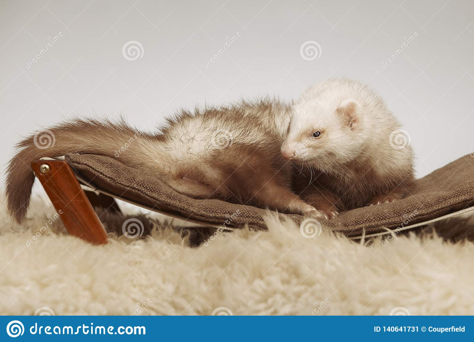 Male ferret of champagne color sitting on sofa