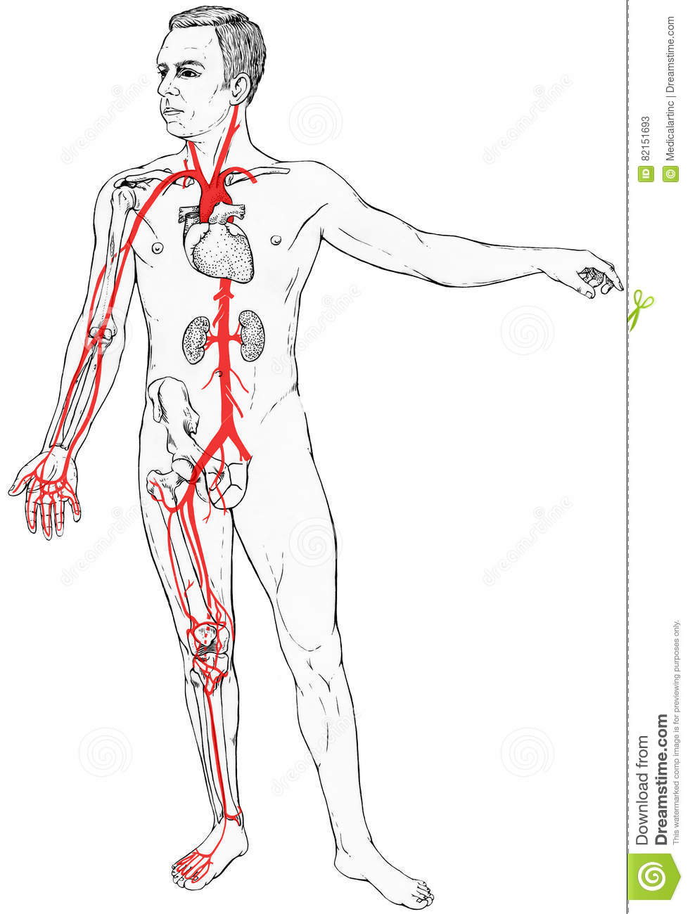 Male Figure With Select Internal Anatomy And Blood Vessels Stock ...