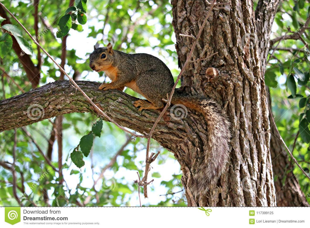 A male fox squirrel standing on a limb in a large oak tree.