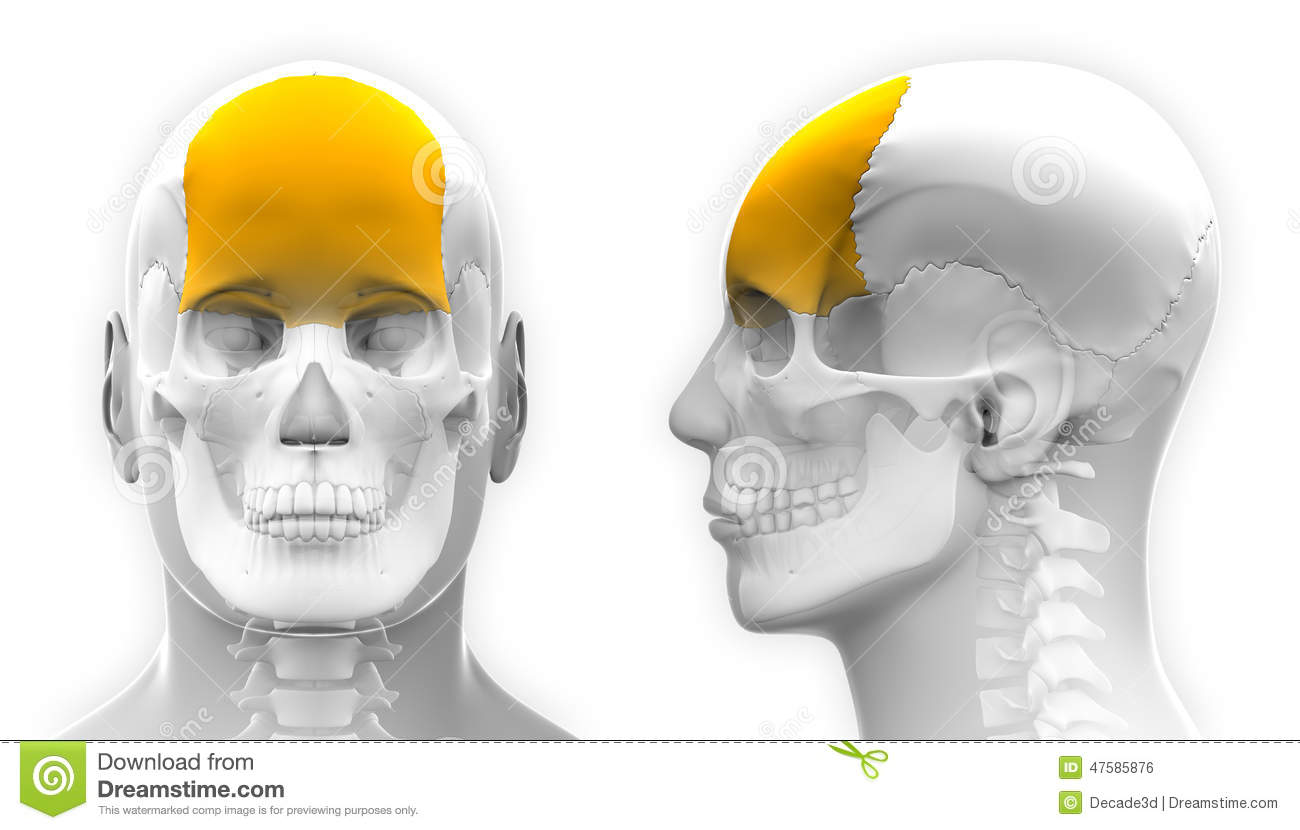 Male Frontal Bone Skull Anatomy Isolated On White Stock