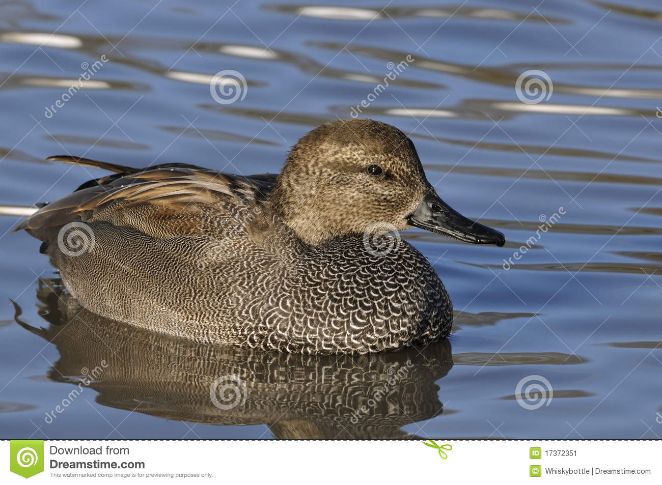 Male Gadwall duck stock image. Image of blue, waterfowl ...