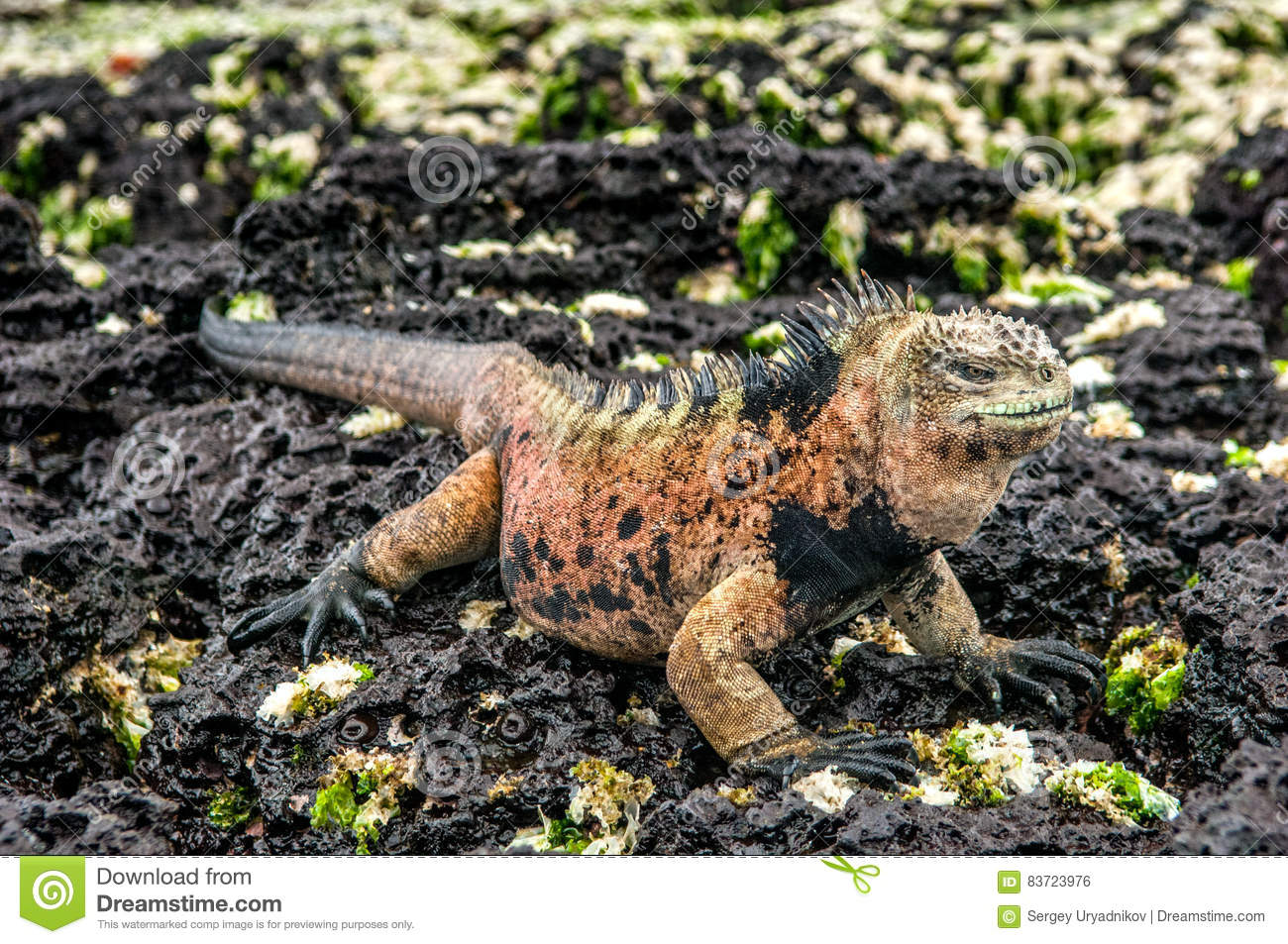 A Male Of Galapagos Marine Iguana Resting On Lava Rocks Stock Photo
