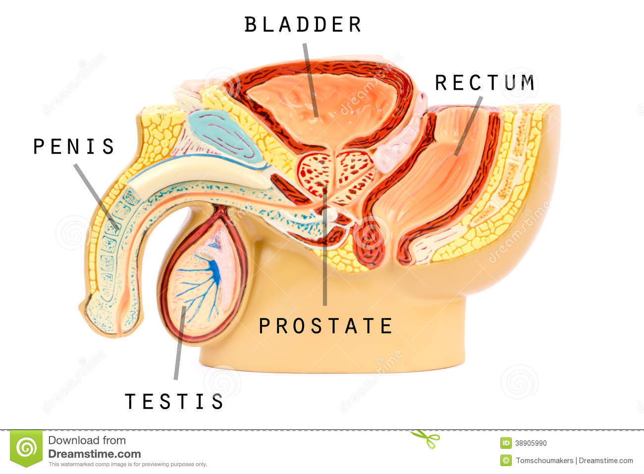 Male Genital Anatomy Stock Illustration Illustration Of