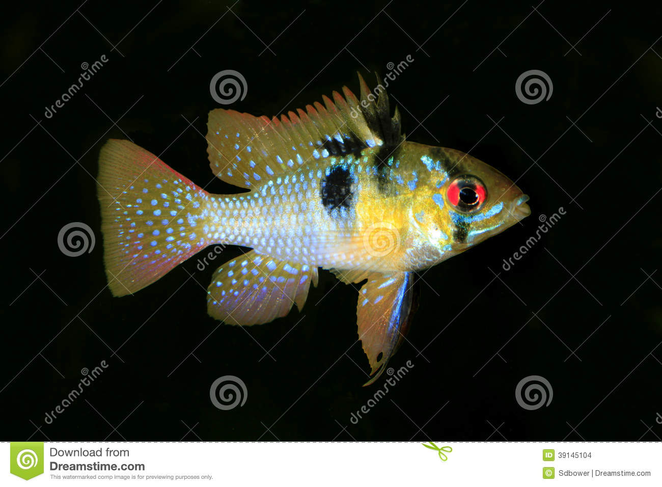 Male German Ram Tropical Fish Isolated On Black Stock