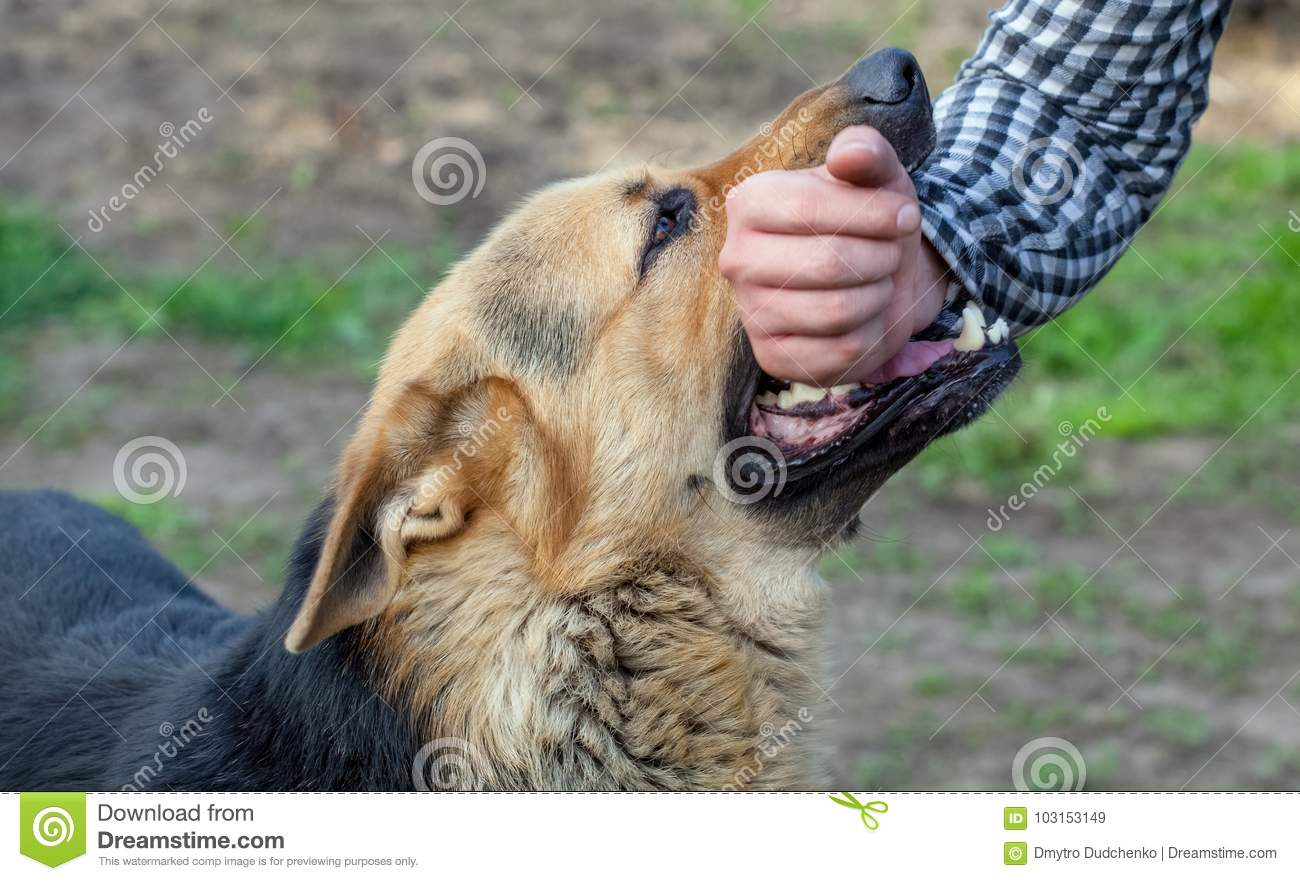 Male German Shepherd Bites A Man By The Hand Stock Image Image Of