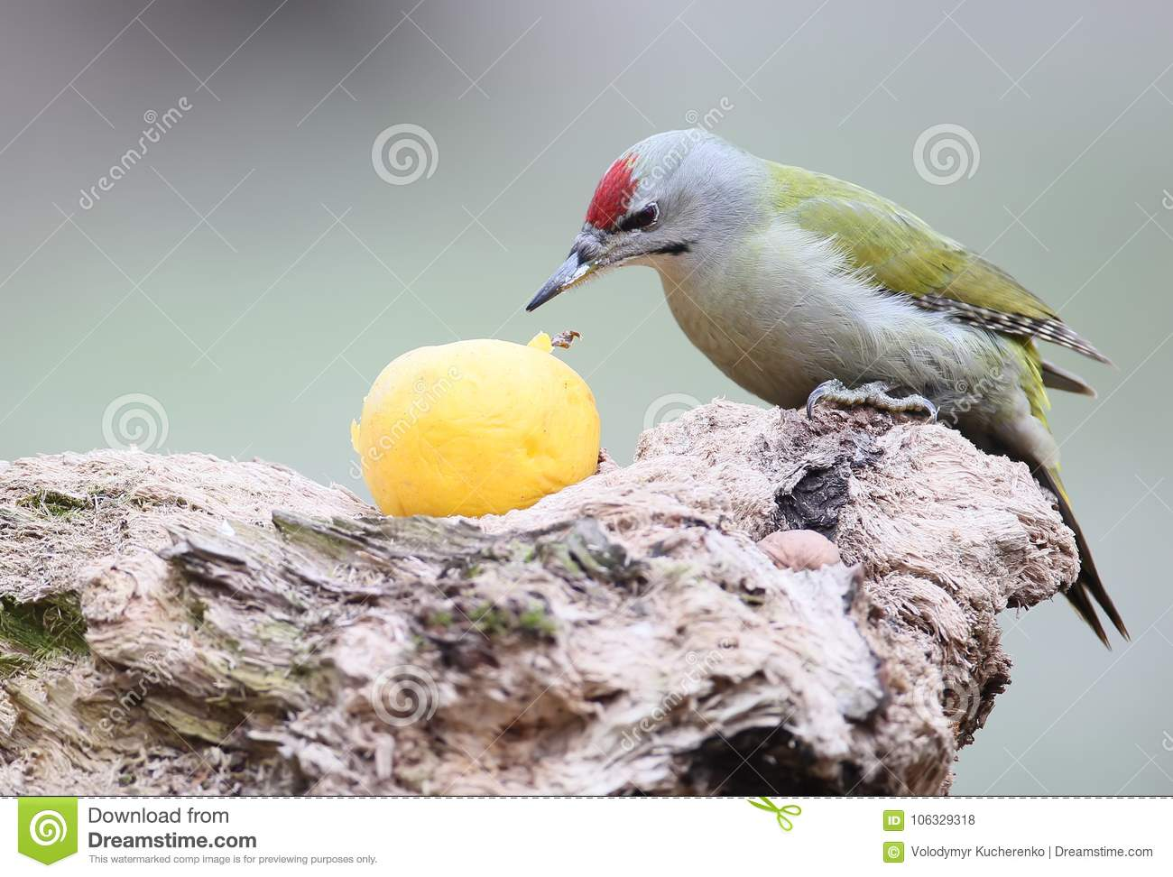 A male of gey headed woodpecker sits on the log and eats large yellow apple.