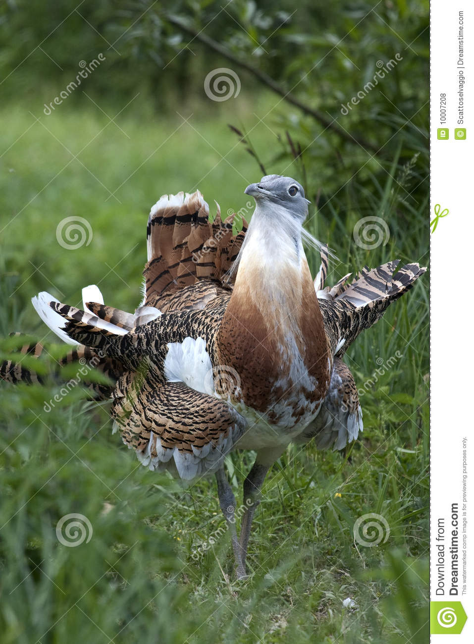 Male Great Bustard (Otis tarda) showing his flamboyant plumage before mating. A single male may mate with up to 5 females. It is a national bird of Hungary (túzok).