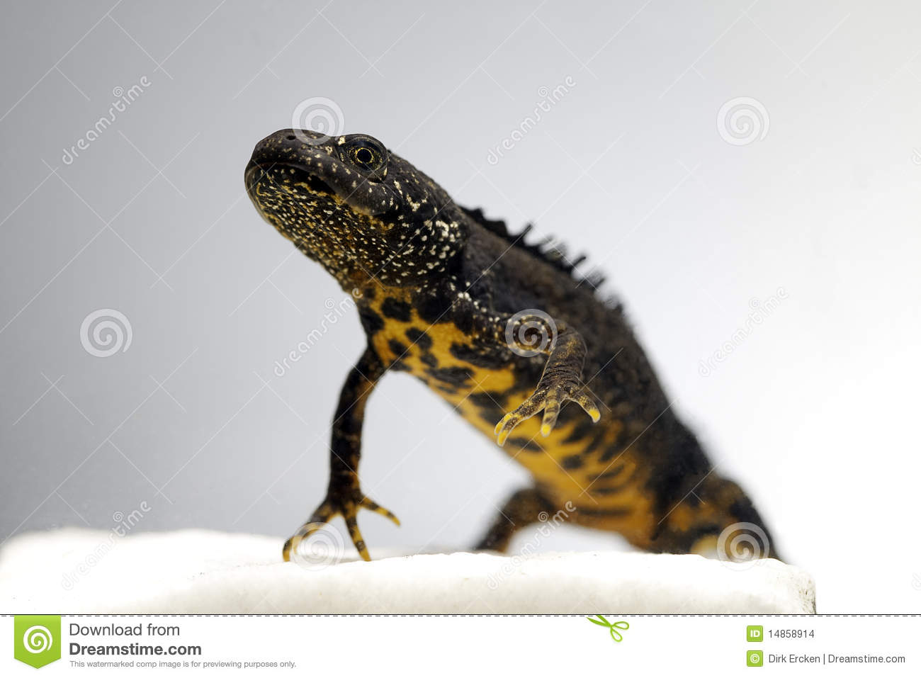 Male great crested newt adult endangered amphibian