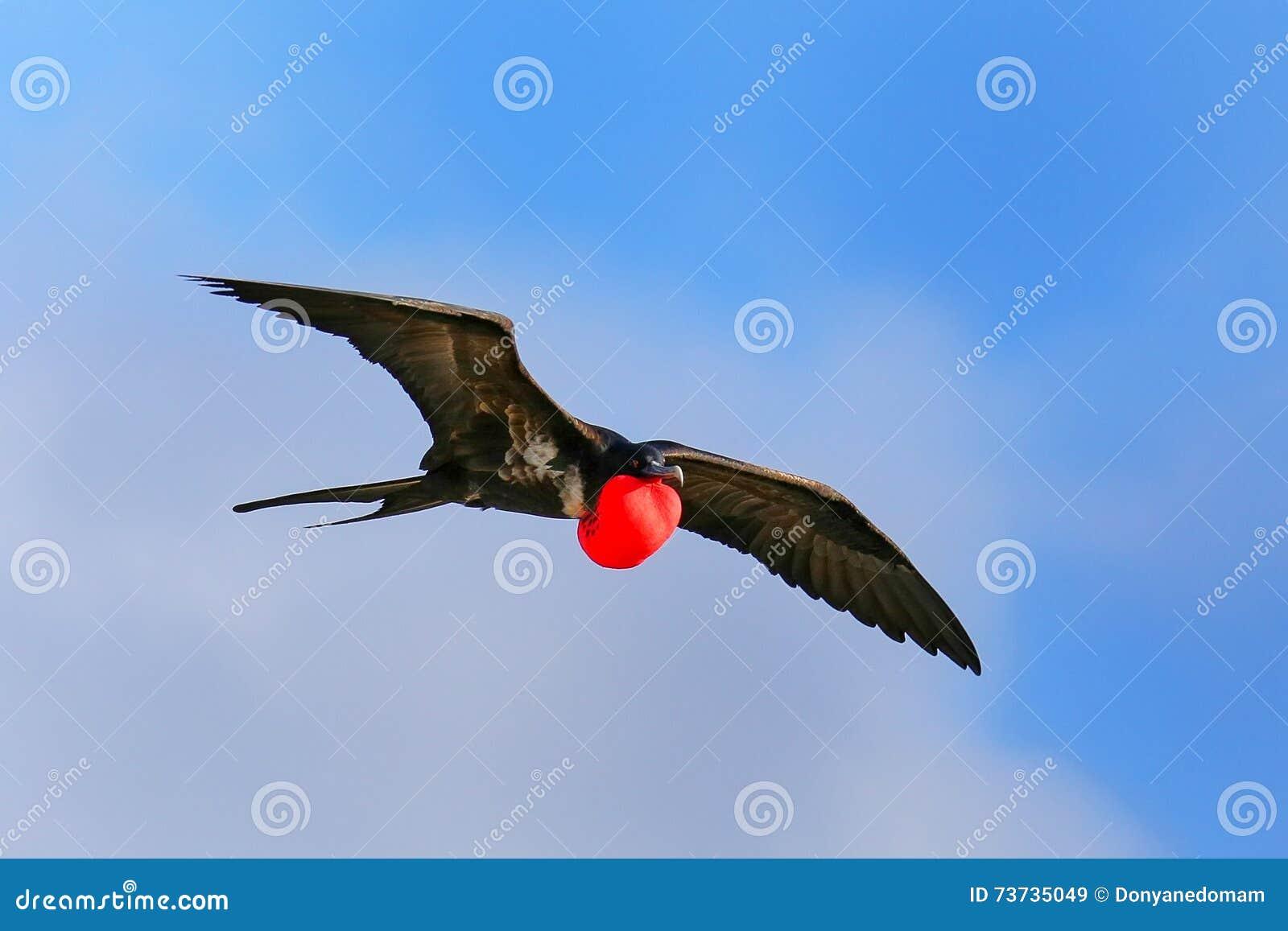 Male Great Frigatebird flying in blue sky, Galapagos National Pa
