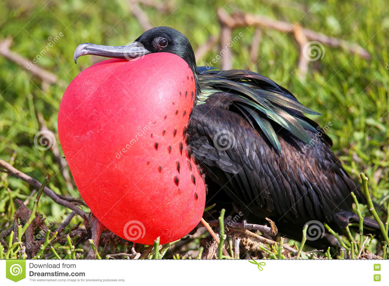 Download Male Great Frigatebird On Genovesa Island, Galapagos National Pa Stock Photo - Image of frigatebird, island: 79926976