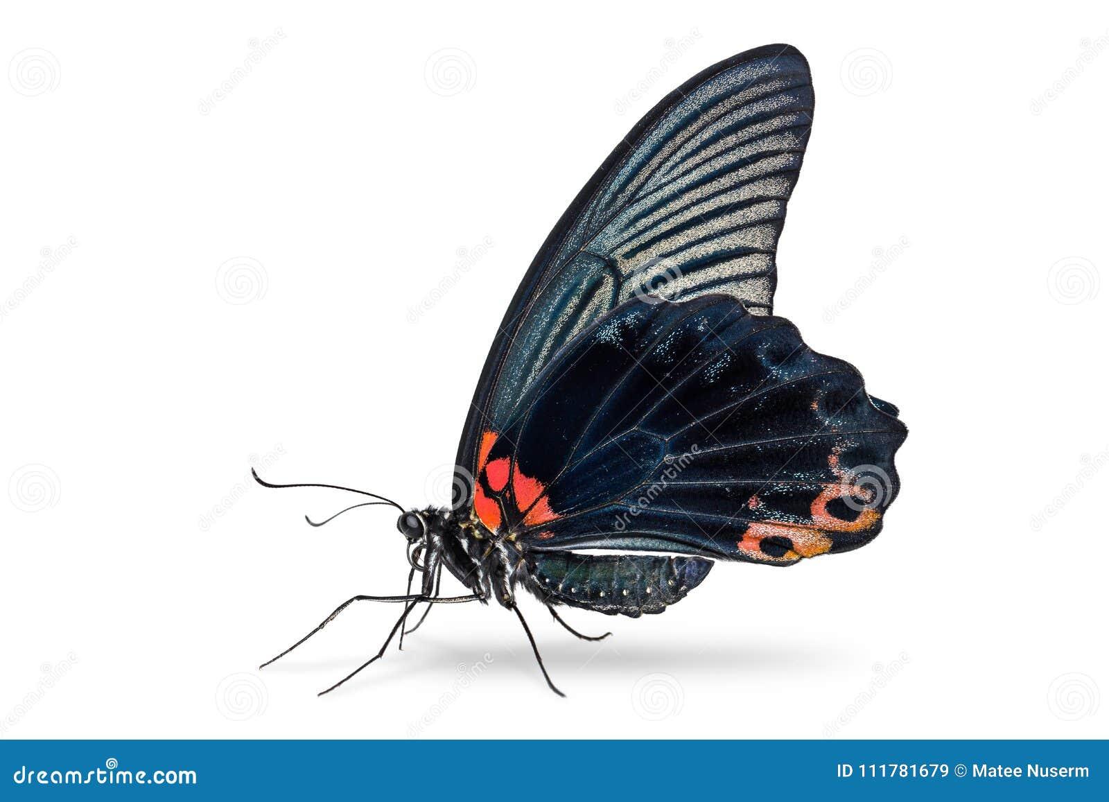 Male Great Mormon Papilio memnon butterfly