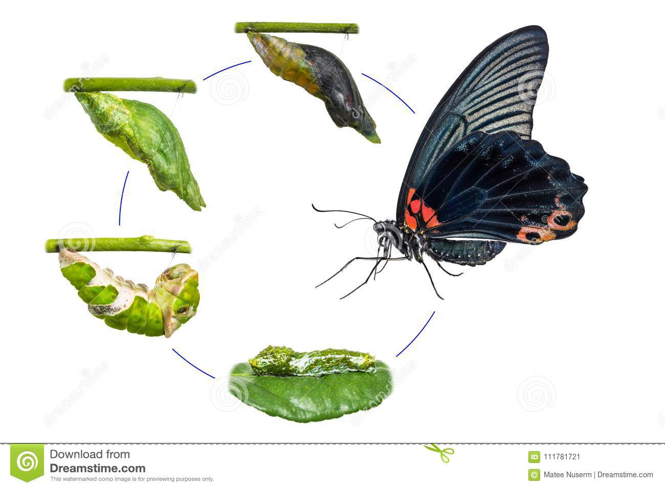 Male Great Mormon Papilio memnon butterfly life cycle