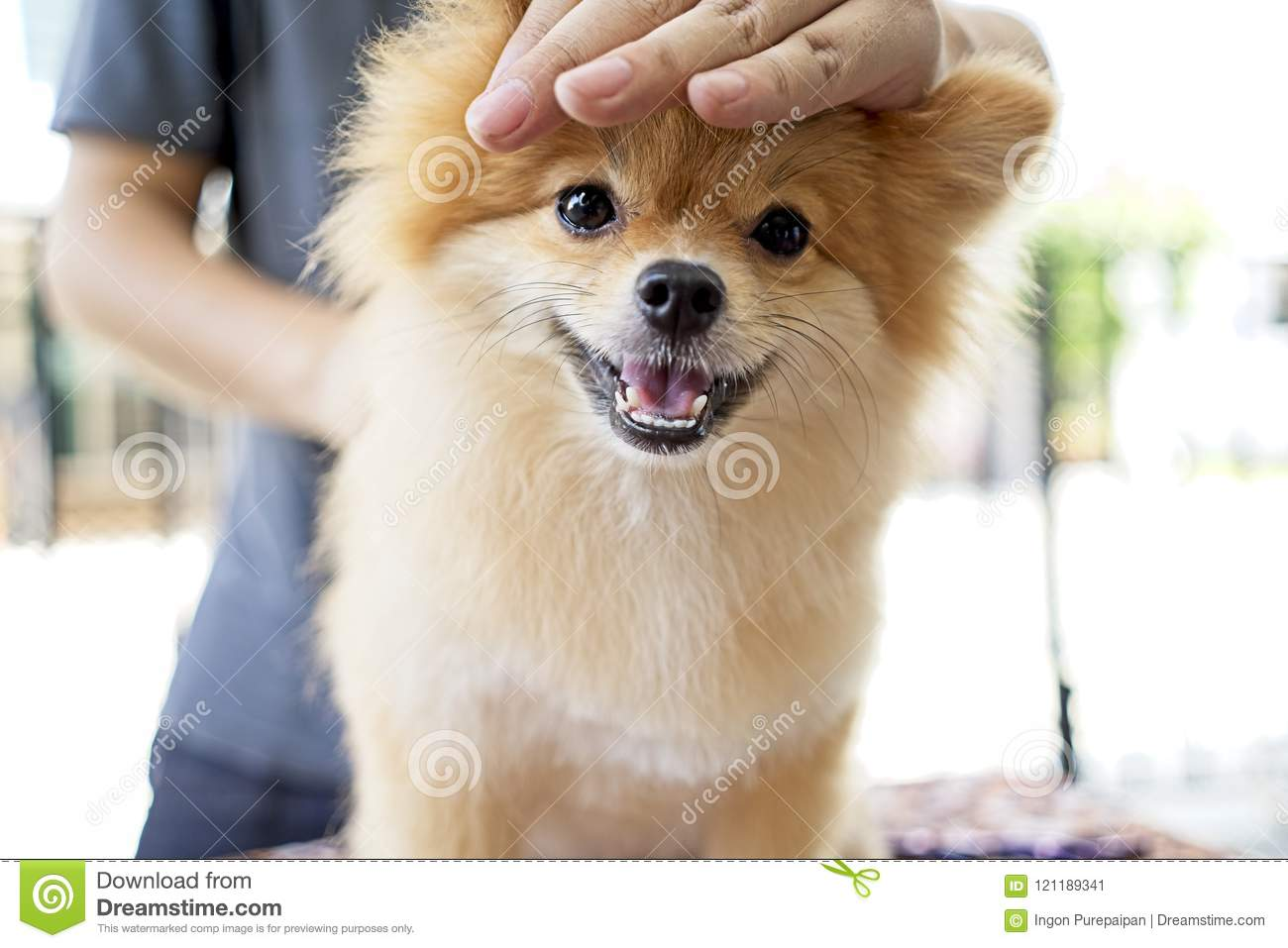 Male Groomer Haircut Pomeranian Dog On The Table Of Outdoor Process