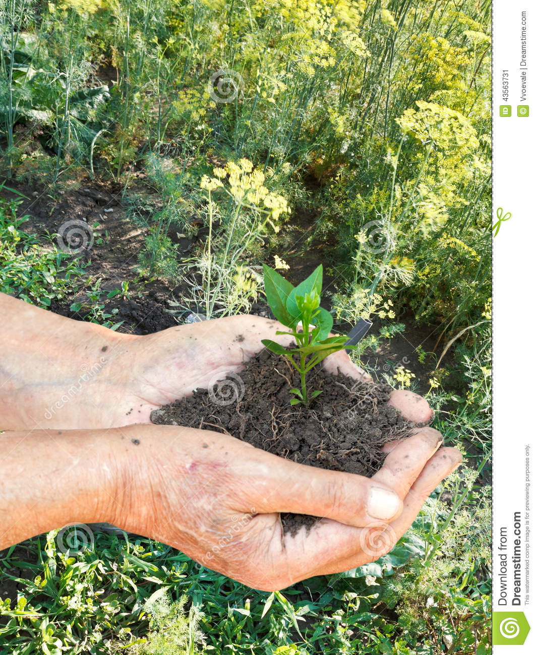 Male hands with soil and green sprout royalty free stock for Soil and green