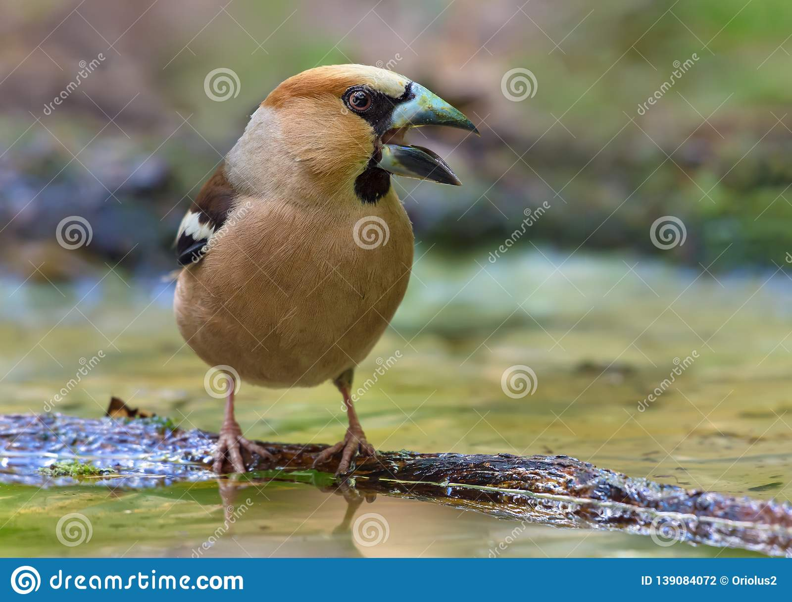 Male hawfinch shouts loudly on small stick on water surface