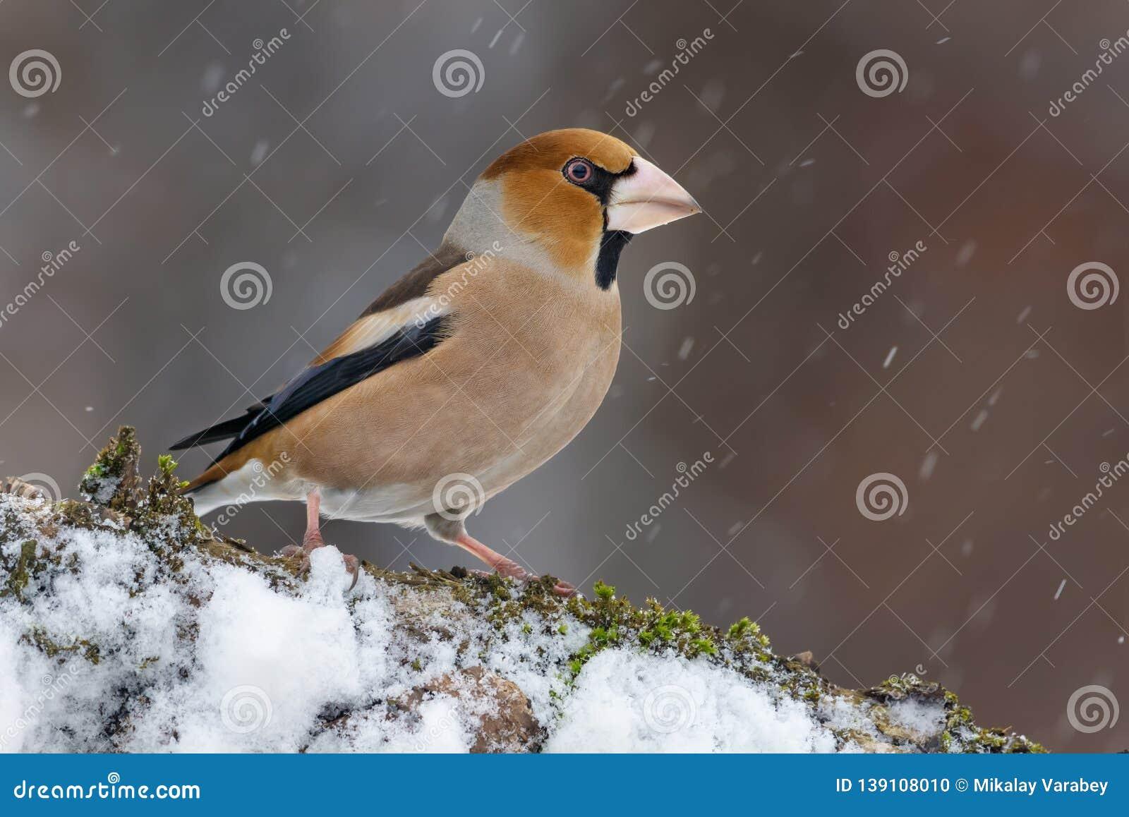 Male hawfinch sitting on a snowy stick in winter snowstorm