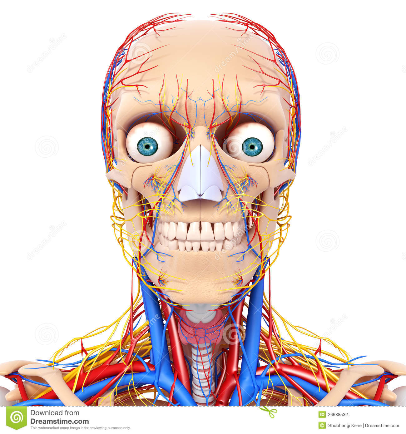 Circulatory System Clipart Circulatory system front