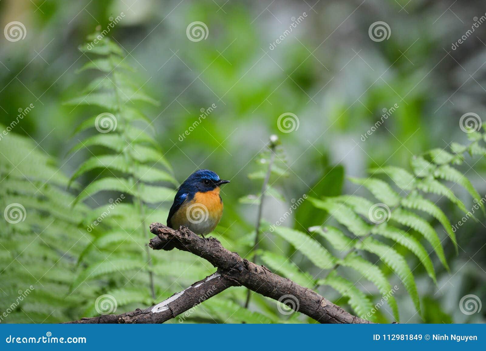 Hill Blue Flycatcher male, Wild bird in Vietnam