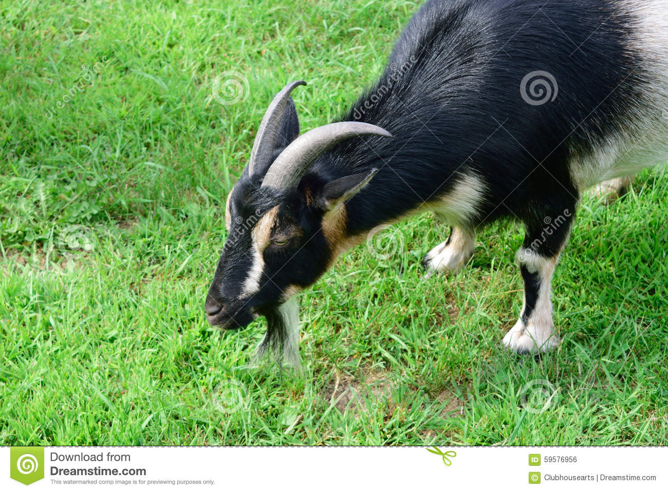 Male Horned Dwarf Goat stock photo. Image of nigerian ...