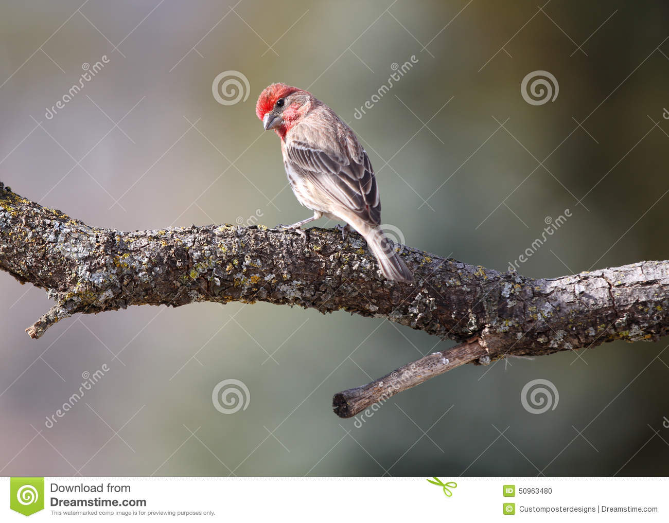 Download A Male House Finch In The Wild. Stock Photo - Image of finch, birds: 50963480