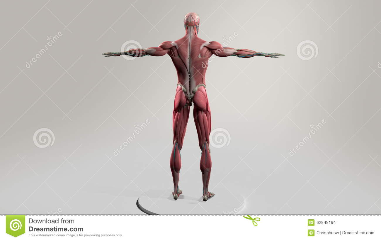 Male Human Anatomy Showing Full Body Rotation, Muscular System ...