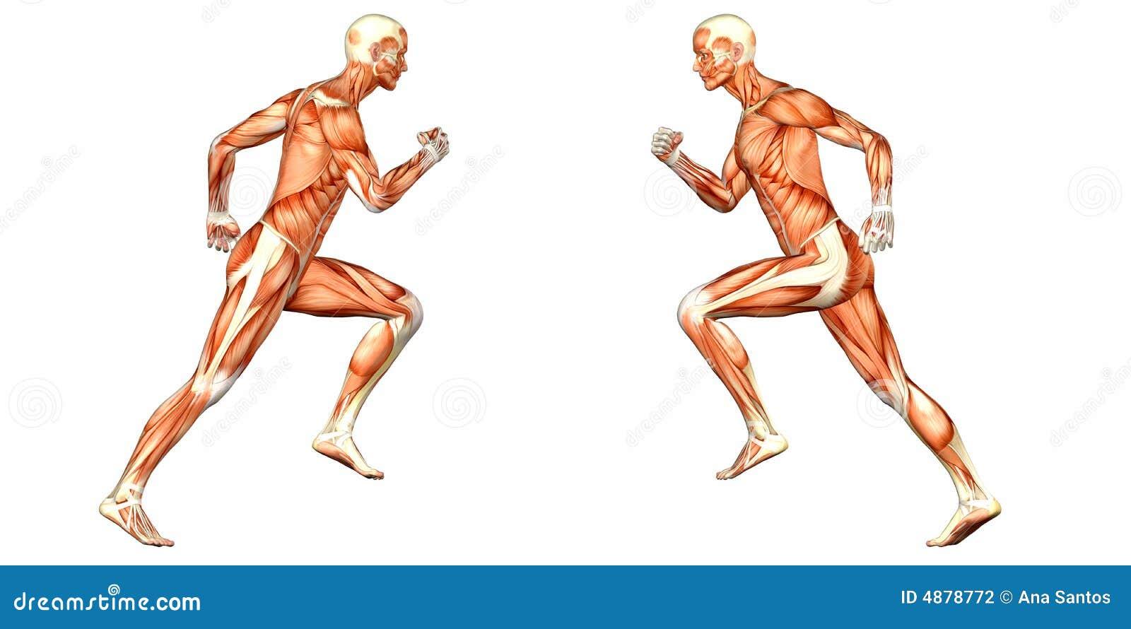 Male Human Body Anatomy stock illustration. Illustration of anatomic ...