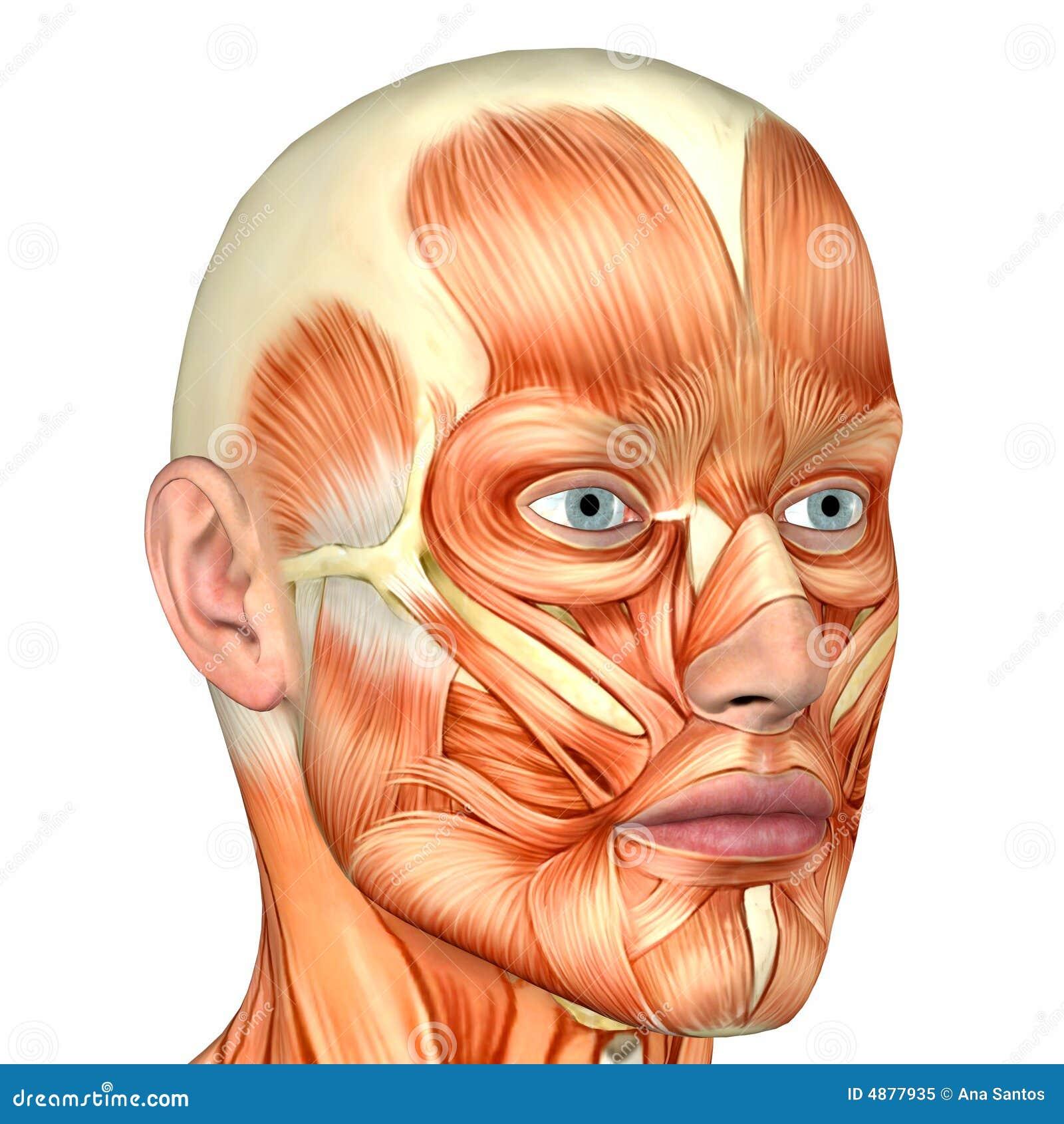 Male Human Body Anatomy Face Stock Illustration Illustration Of