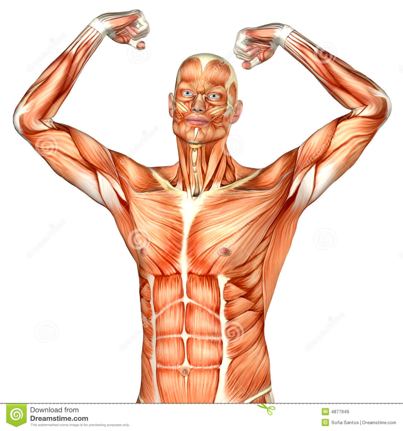 Male Human Body Anatomy Upper Part Stock Illustration