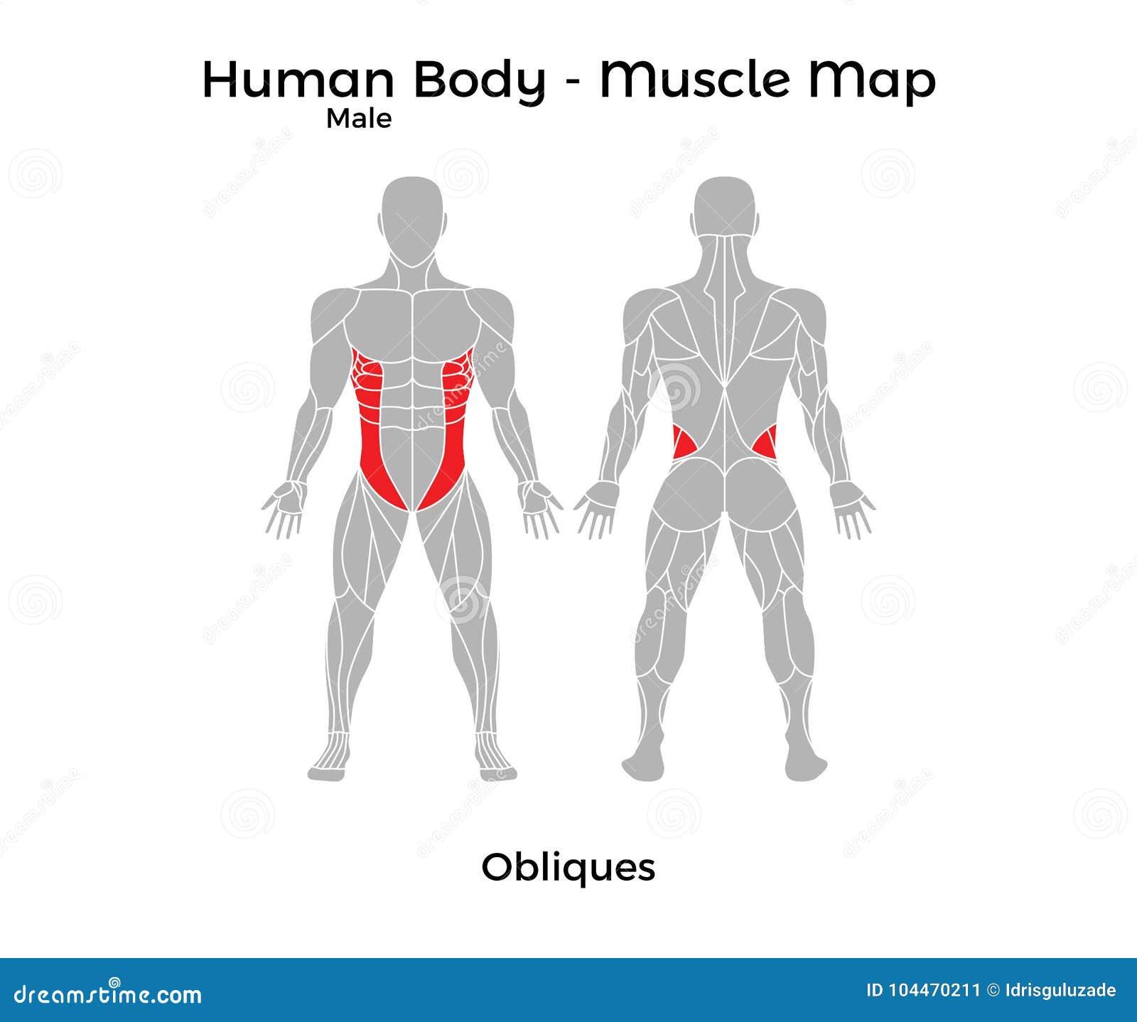 Niedlich Obliques Fotos - Menschliche Anatomie Bilder - madeinkibera.com