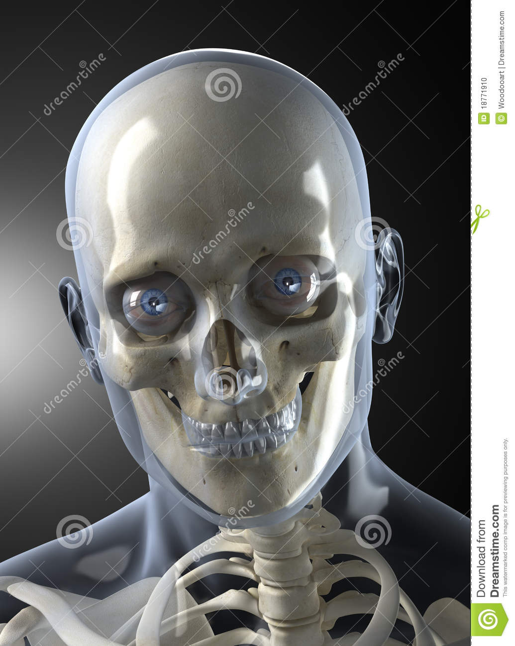 Male Human Head X-ray Front View Stock Photo - Image: 18771910 X Ray Skull 4 Views