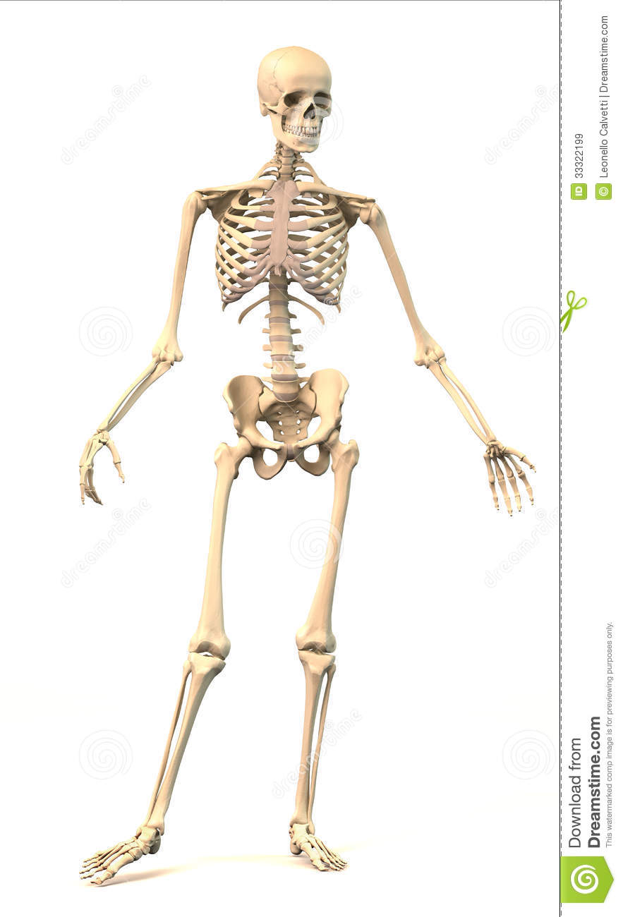 Male Human Skeleton In Dynamic Posture Front View Stock