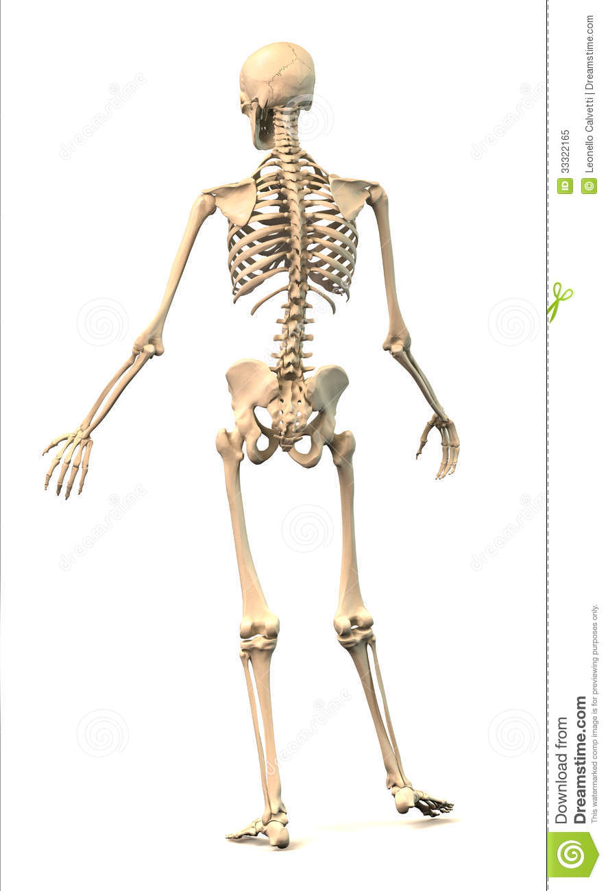 Male Human Skeleton In Dynamic Posture Rear View Stock