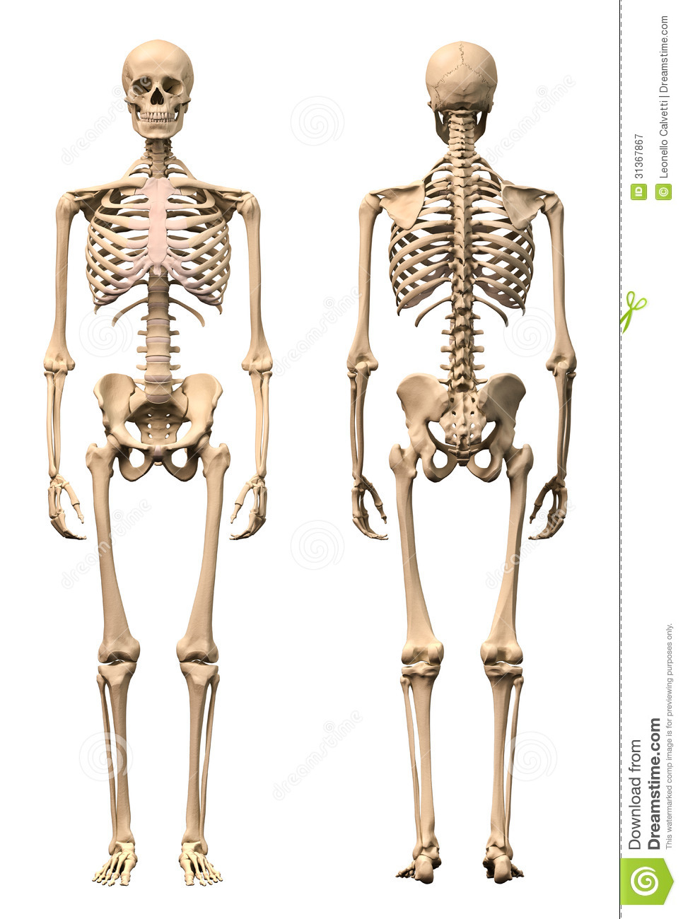 Male Human Skeleton Two Views Front And Back Stock Illustration