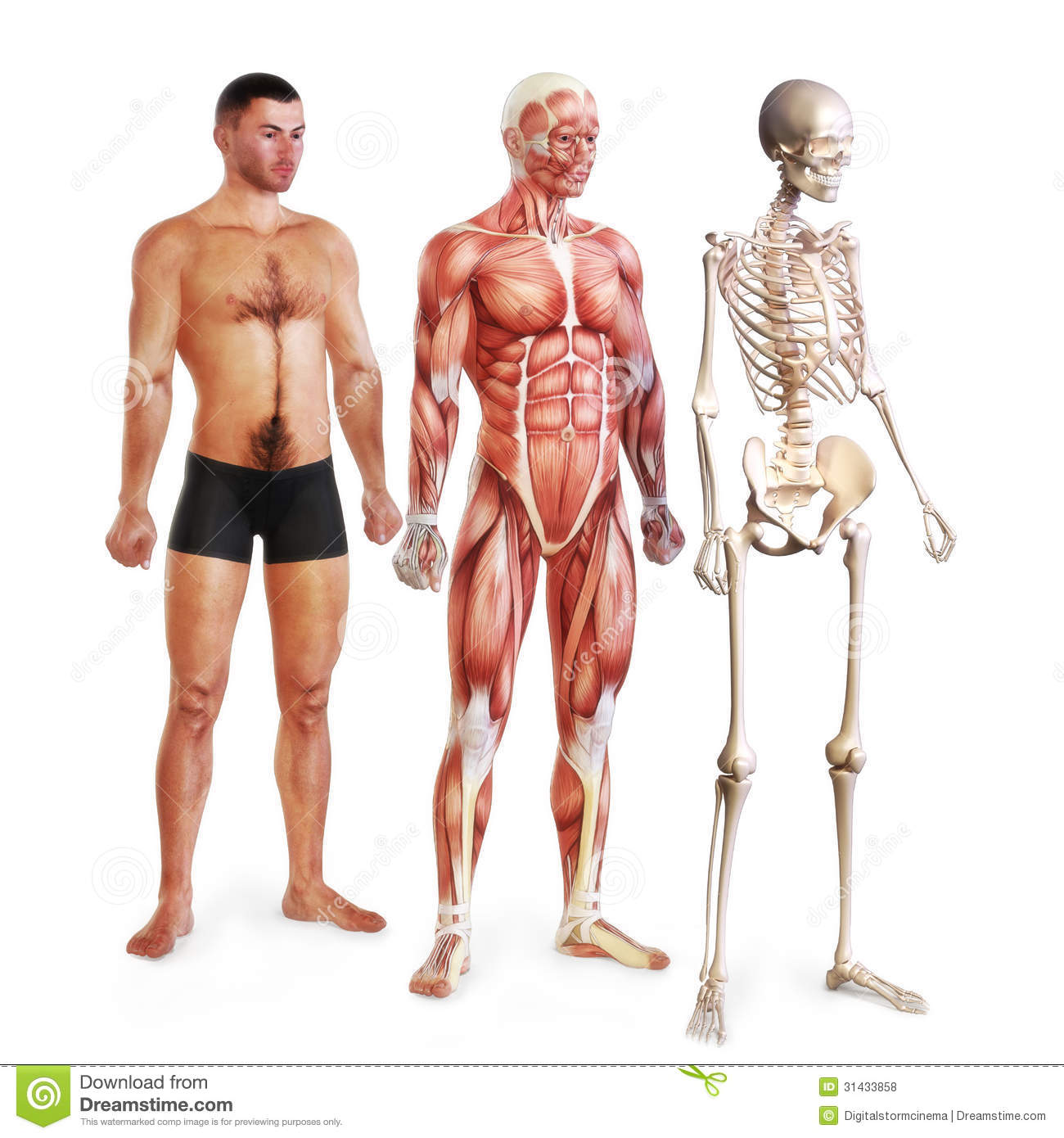 Male Illustration Of Skin Muscle And Skeletal Systems Stock