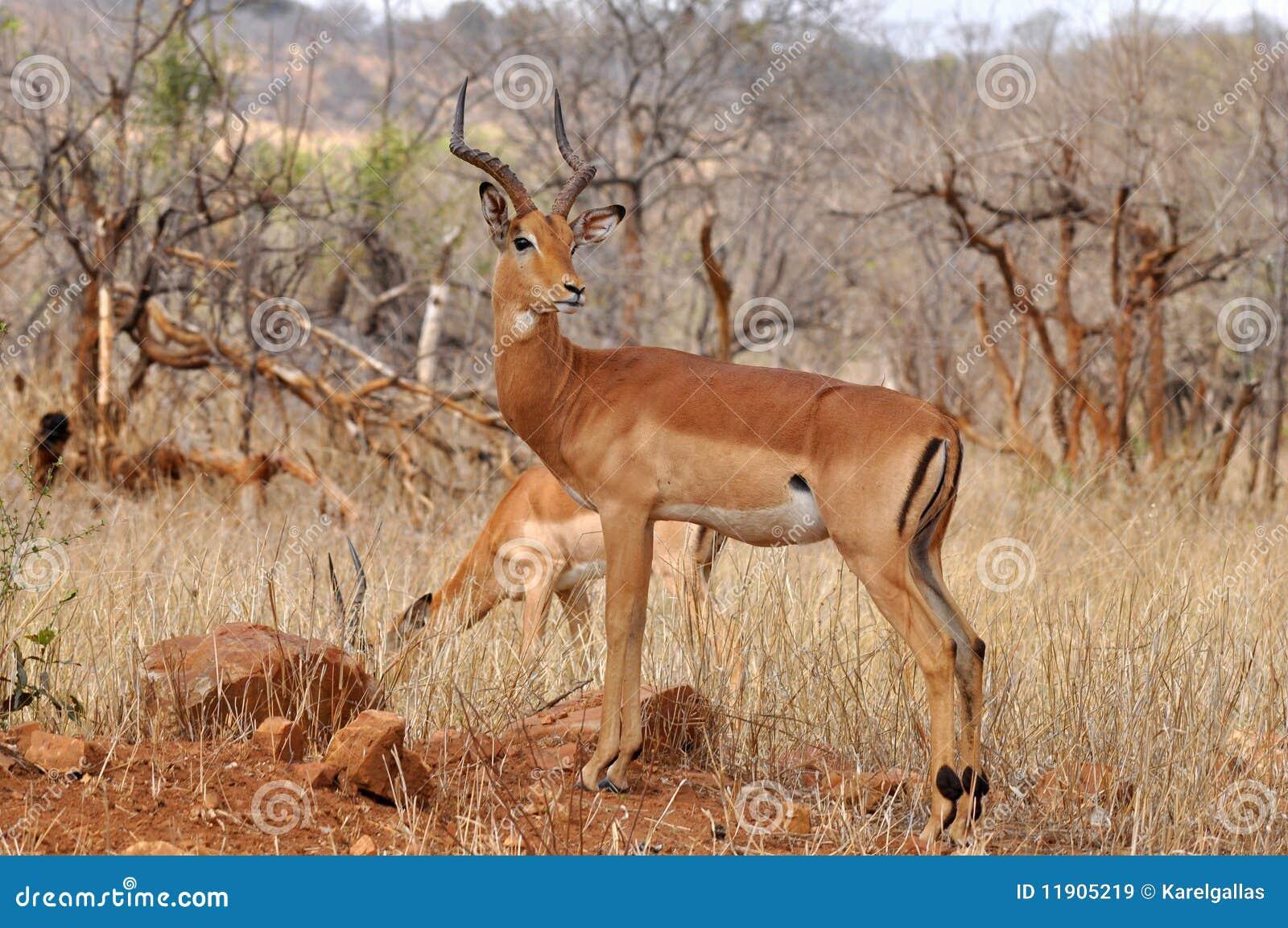 male of impala antelope kruger np south africa stock image. Black Bedroom Furniture Sets. Home Design Ideas