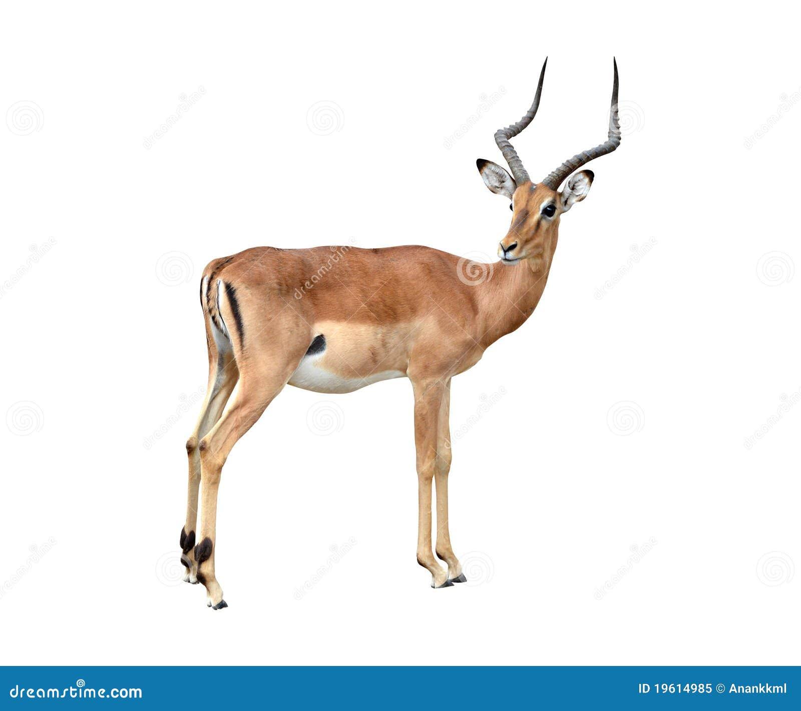 Male Impala Isolated Royalty Free Stock Photo - Image ...