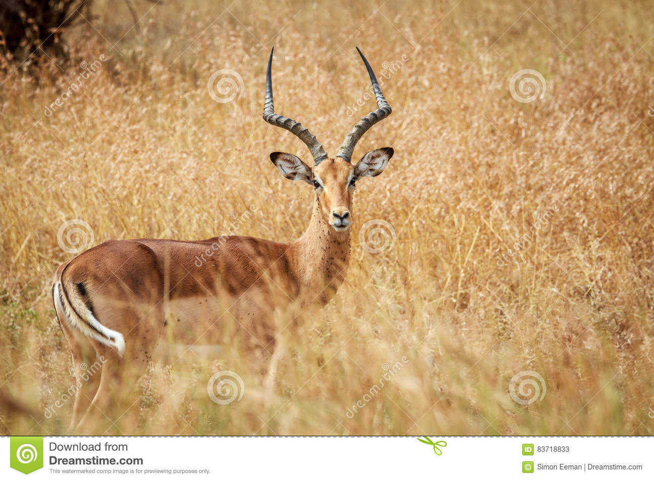 Male Impala Starring At The Camera. Stock Photo