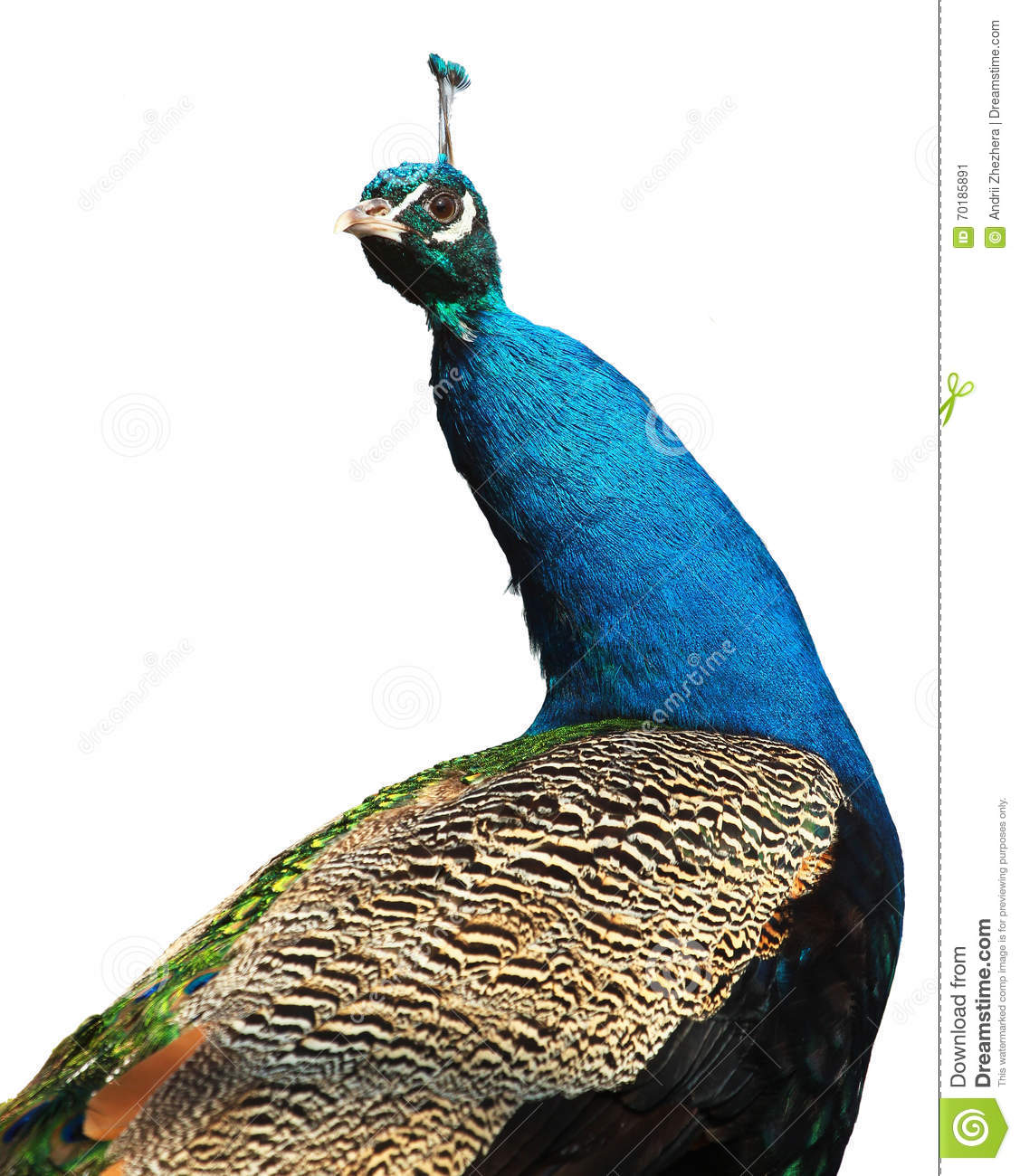 Male indian peacock (Pavo cristatus) isolated on white backgroun