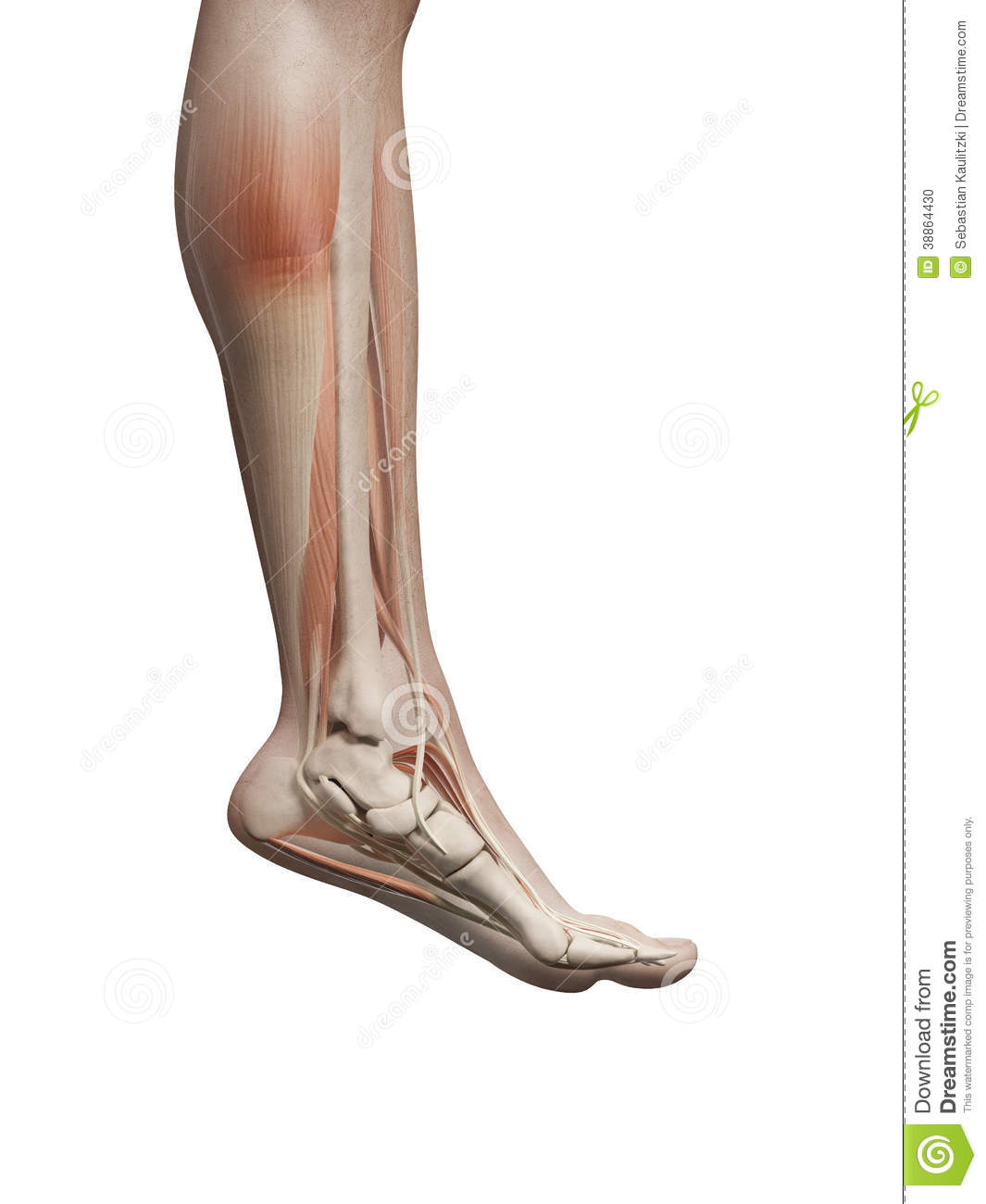 The male leg muscles