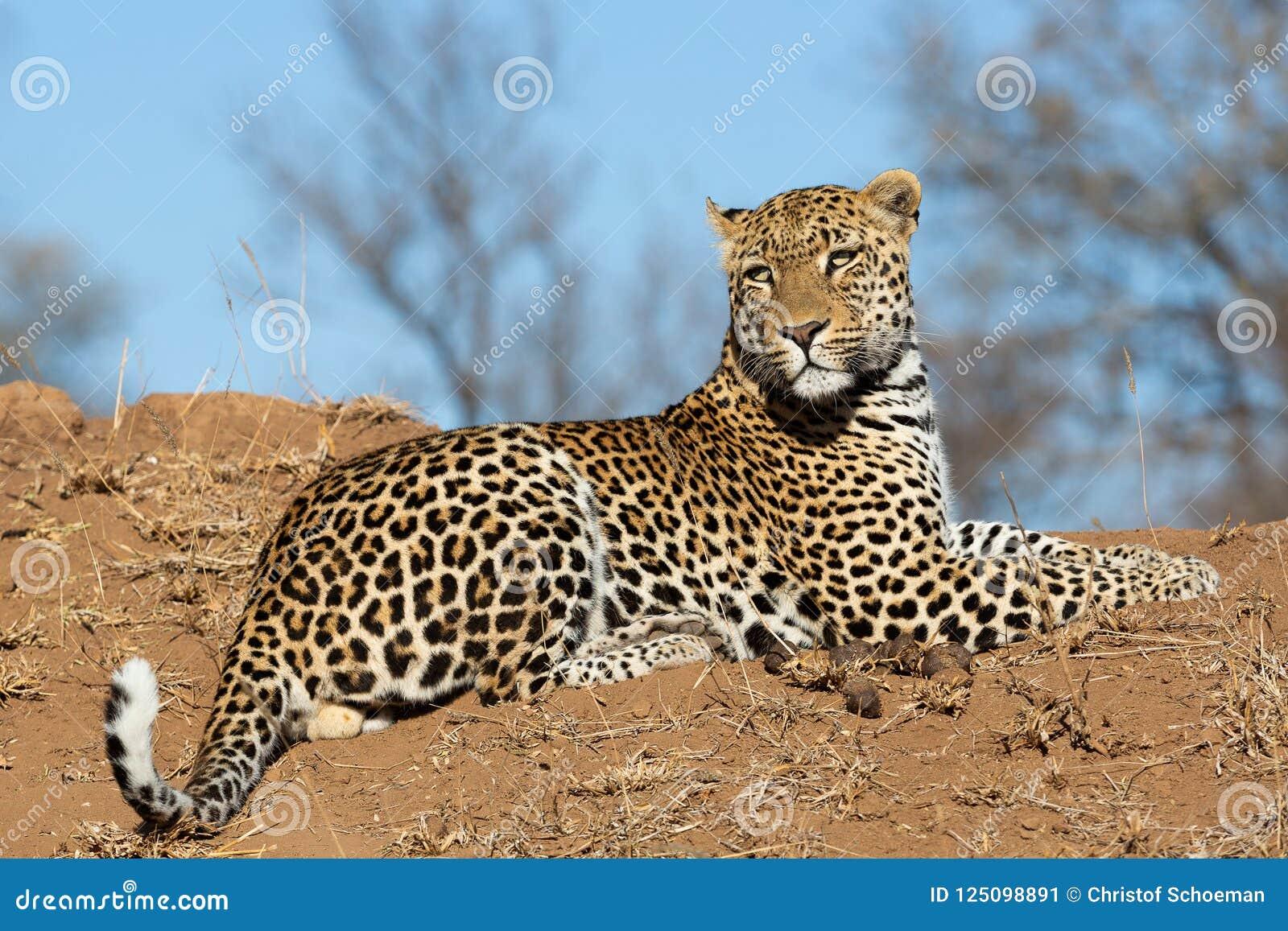 Male leopard on a mound