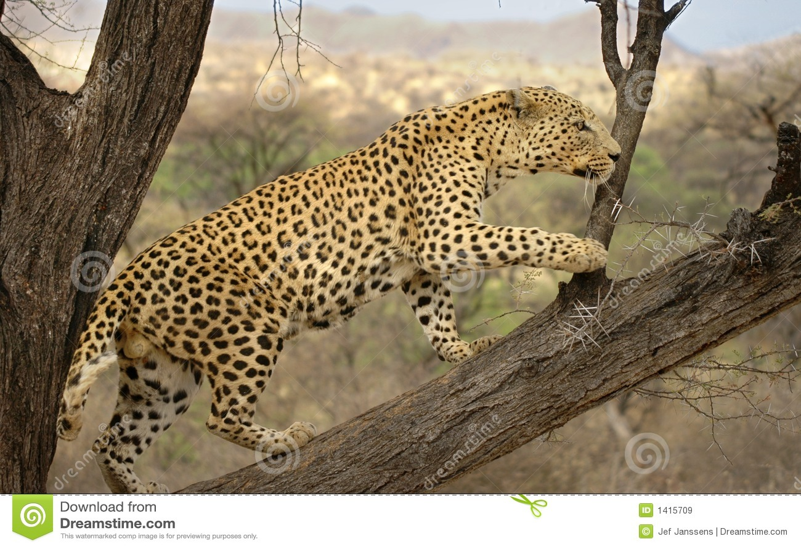 Male Leopard Namibia