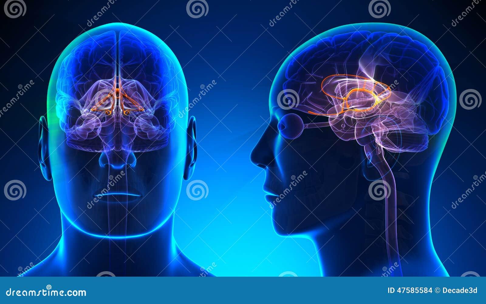 Male Limbic System Brain Anatomy - Blue Concept Stock Illustration ...