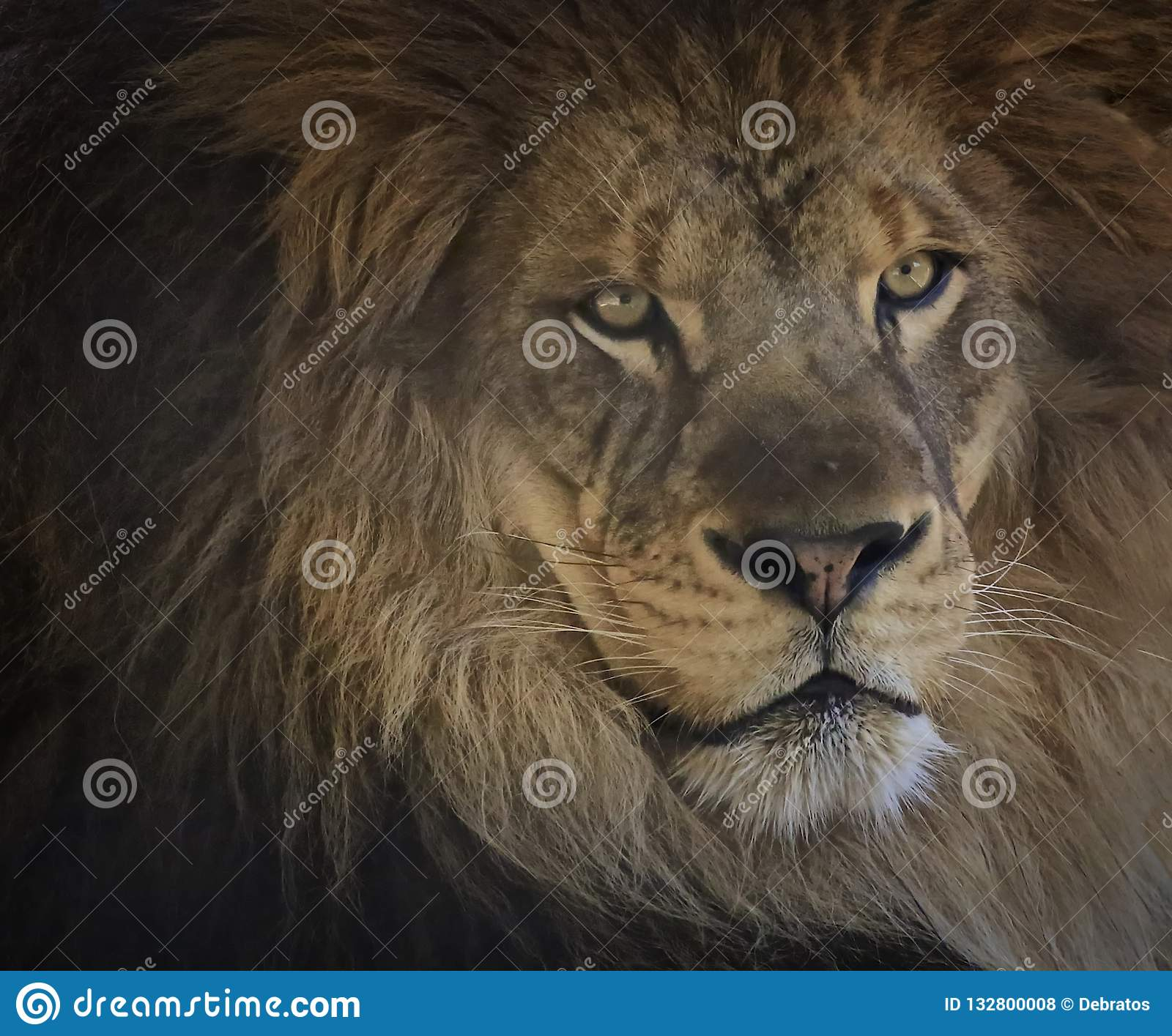 Male lion cat face portrait