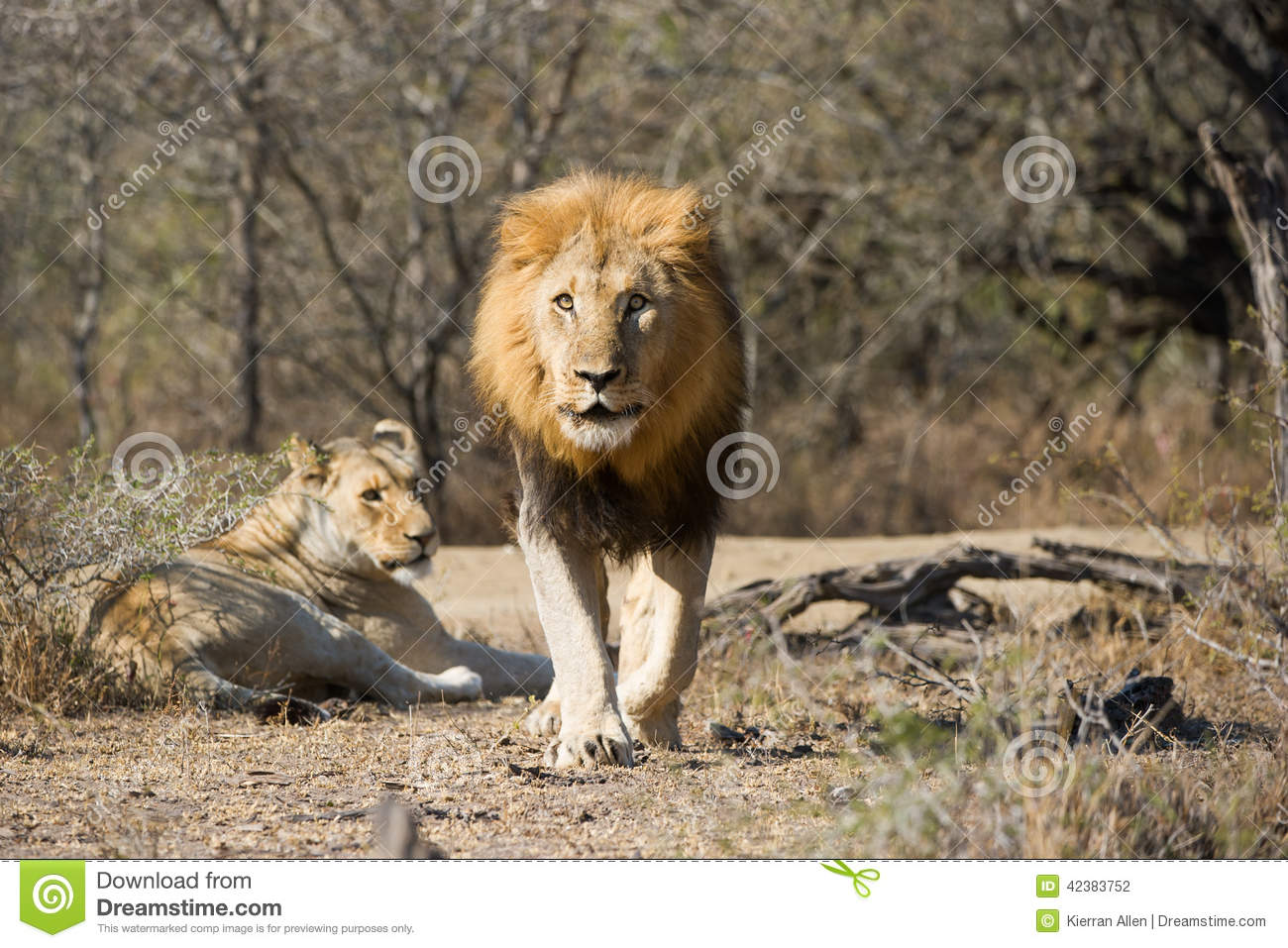 Male lion charging photographer South Africa